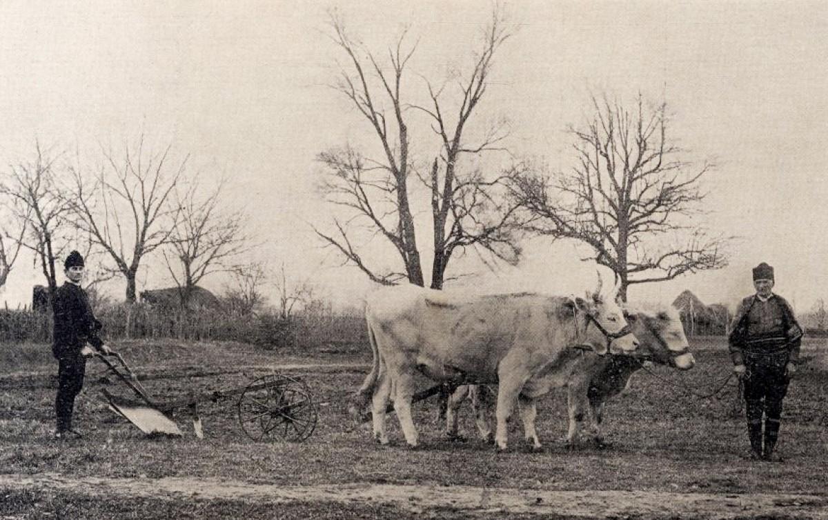 Oranje. Ralo i volovi (Narodno dobro Topčider, 1900)