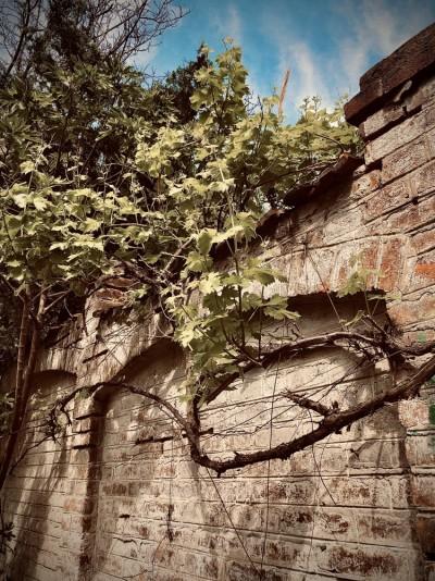 Stari zid sa vinovom lozom na Neimaru, Vračar